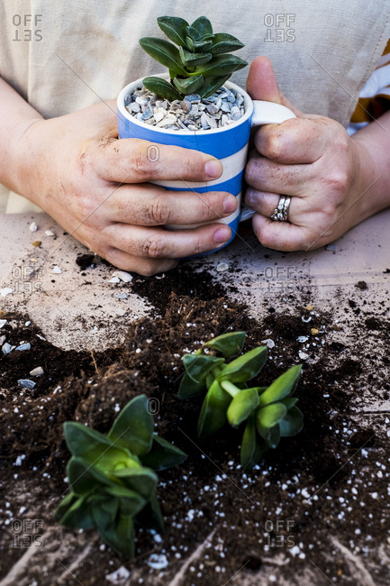 High angle close up of person holding coffee mug with succulent, succulent plants with soil attached to root.