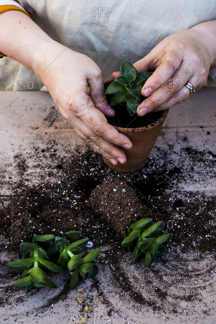 High angle close up of person planting succulent in potting soil in a terracotta pot, succulent plants with soil attached to root.