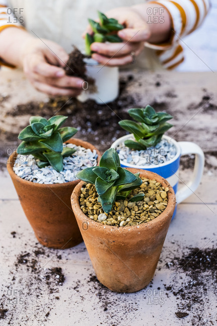 High angle close up of person planting succulents in gravel in terracotta pots.