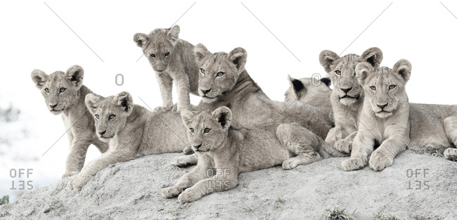Lion cubs, Panthera leo, lie together on a termite mound, looking out of frame
