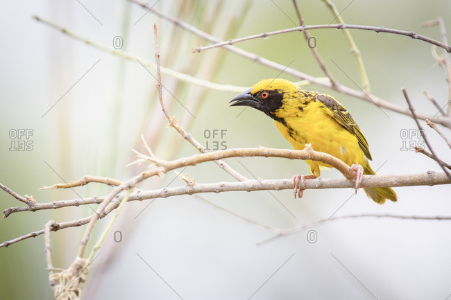 A village weaver, Ploceus cucullatus, perches on a bare branch, beak open