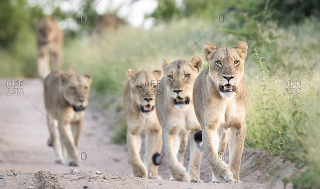 A pride of lions, Panthera pardus, walk in a line down a sand road flanked by green grass, looking out of frame, mouths open