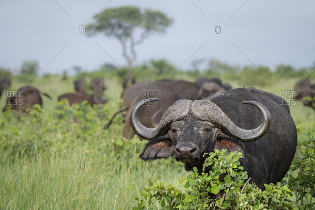 An African or Cape buffalo, Syncerus caffer, direct gaze standing in green field with herd of buffalo