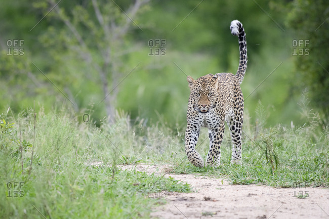 A leopard, Panthera pardus, walks in short green grass with its tail in the air, looking out of frame
