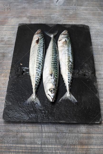 High angle close up of three fresh mackerel fish on black slate.
