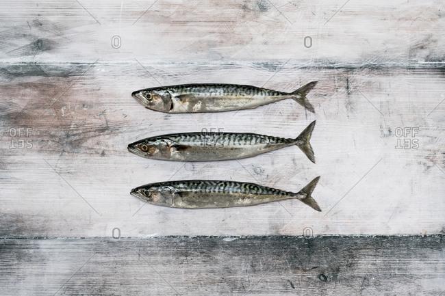 High angle close up of three fresh mackerel fish.