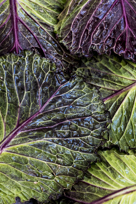 Still life, fresh green and red cabbage leaves.
