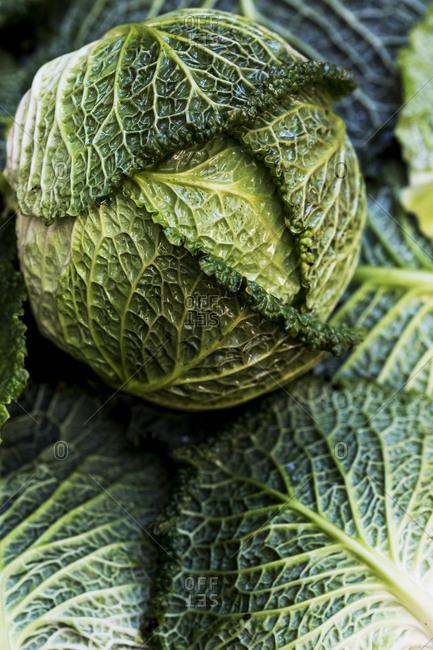 Still life, a fresh round green savoy cabbage