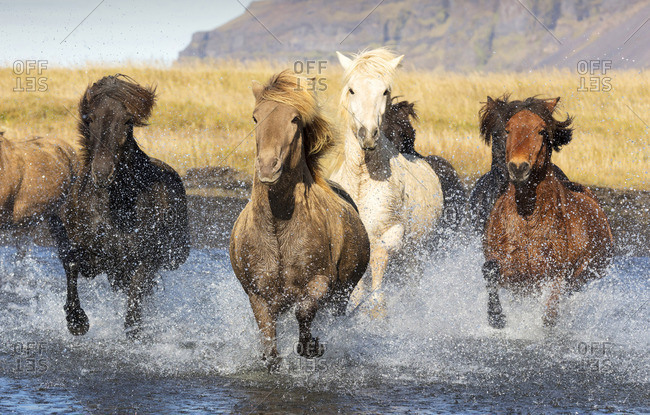 Icelandic horses running across a glacial river, South Iceland