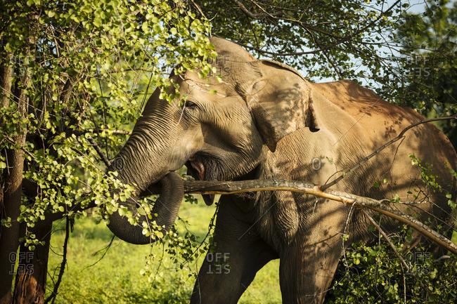 Elephant in Uda Walawe National Park, Uva Province, Sri Lanka, Asia
