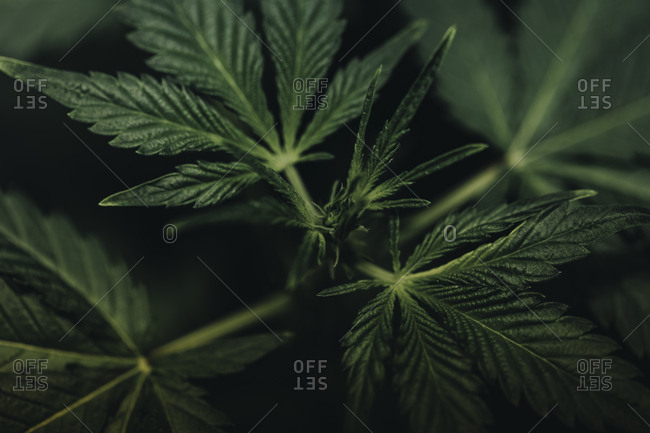 Abstract view of a marijuana plant