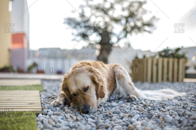 Moody golden retriever with his head down lying on a bed of rocks.