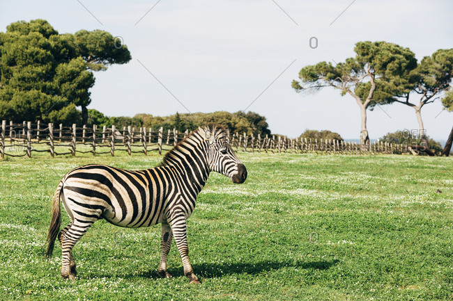 Zebra on meadow