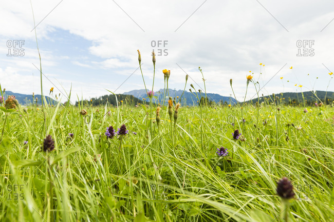 Austria- Styria- meadow with view on Schaertenspitze