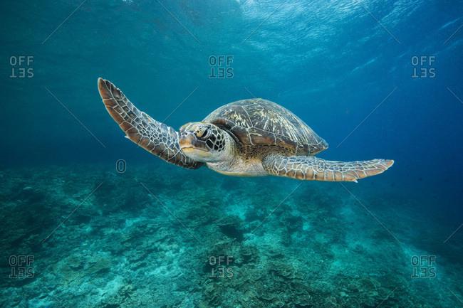 Green Sea Turtle- Chelonia mydas