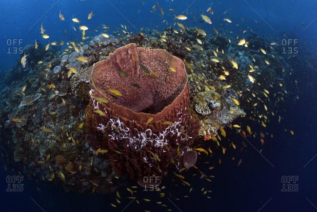 Fishes around a brown vase sponge- Callyspongia