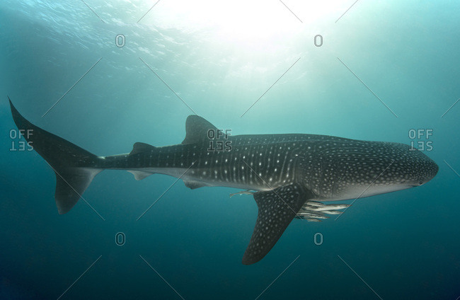 Whale shark with cleaner fish
