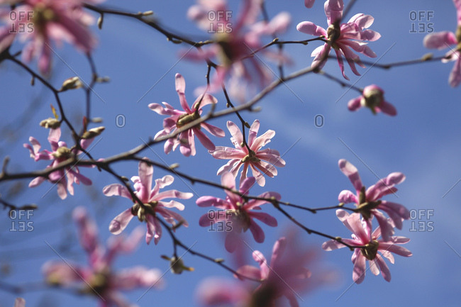 Pink blossoms of magnolia tree against blue sky