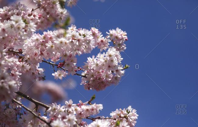 Flowering cherry tree- copy space