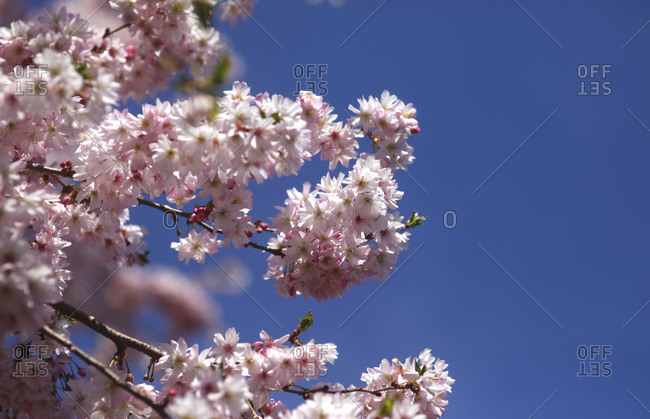 Flowering cherry tree- copy space