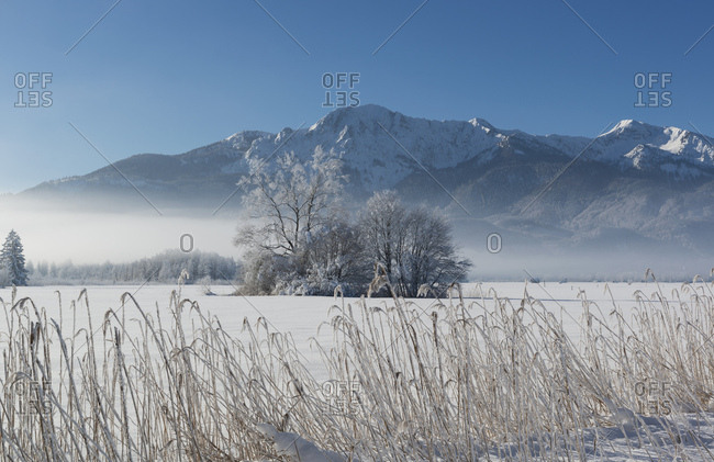 Germany- Upper Bavaria- Werdenfelser Land- winter landscape- trees and reed grass
