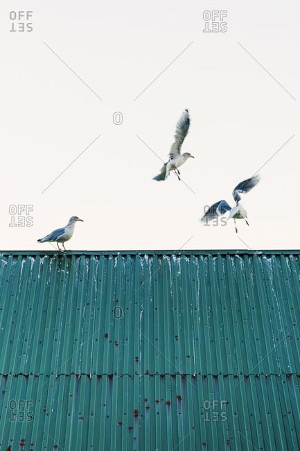 Norway- Lofoten Islands- Ballstad- three seagulls