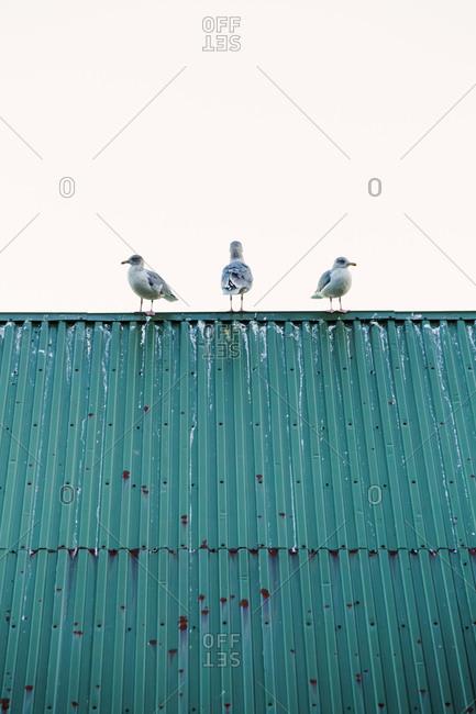 Norway- Lofoten Islands- Ballstad- three seagulls standing on a roof