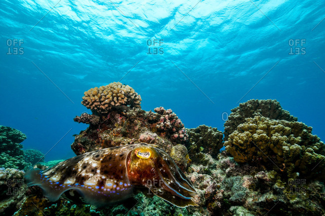 Cuttlefish in front of coral in the great barrier reef