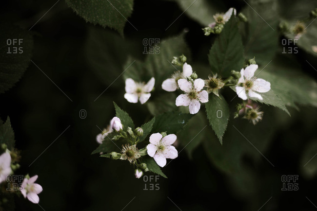 Macro photography of blackberry flowers.