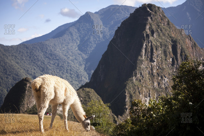 A llama eats grass at the ancient Inca site of Machu Picchu,  Peru.