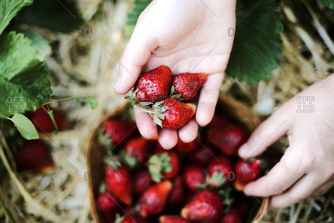 Closeup of a woman's hands holding fresh strawberries.