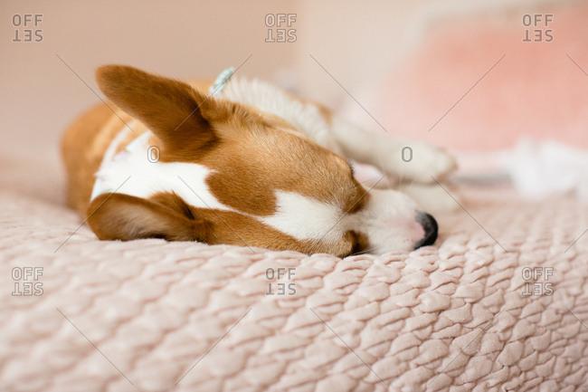 Top view of corgi dog laying asleep on bed indoors