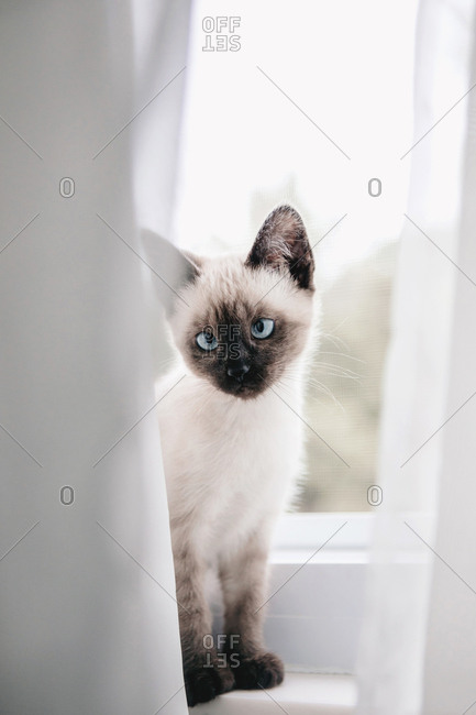 Siamese kitten in window
