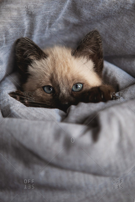 Siamese kitten in blanket