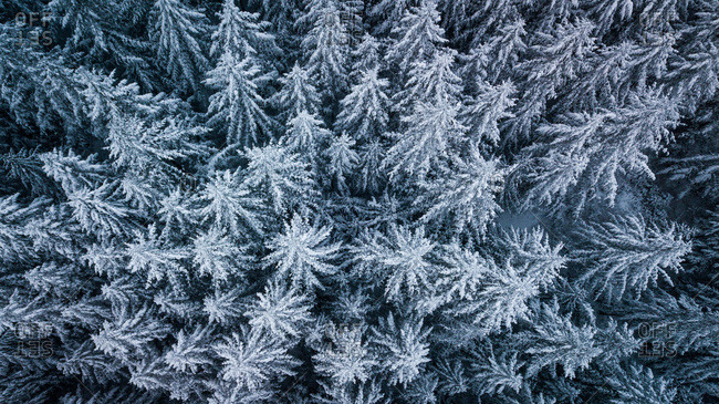 Winter drone aerial of pine trees in Washington