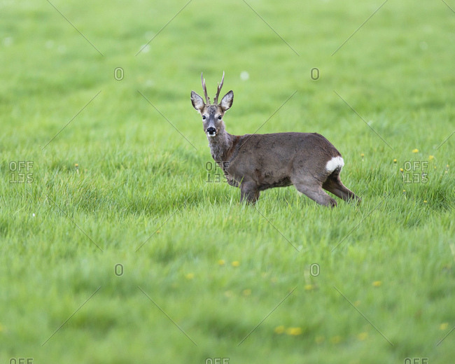 Close-up on a young buck in grassy meadow looking at camera