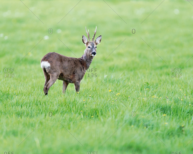 Young buck standing in grass looking at camera