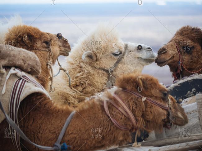Camels in the desert in Uzbekistan