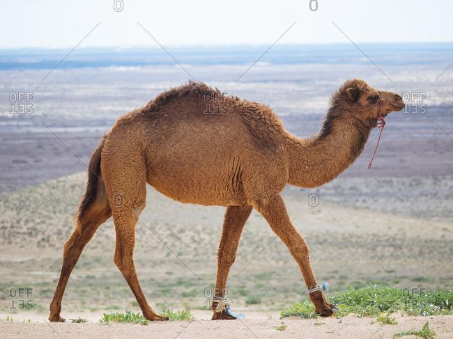 Camel walking in the desert in Uzbekistan
