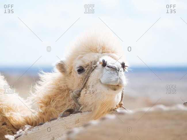 Close up of a white camel walking in the desert in Uzbekistan