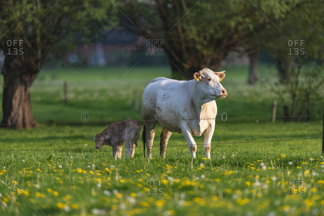 Cow and calf standing in wild flowers during sunset