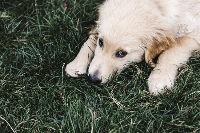 Golden Retriever puppy lying in the green grass
