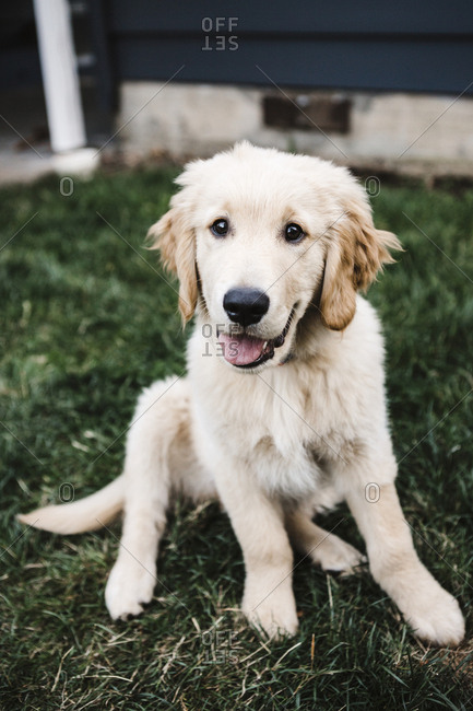 Golden Retriever puppy sitting in the grass in front of a dark blue house