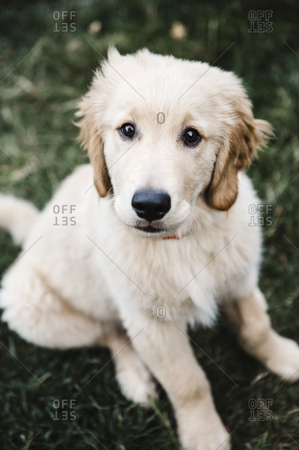 Golden Retriever puppy in the grass looking up