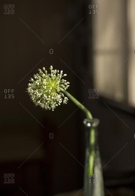 Single onion flower in a vase