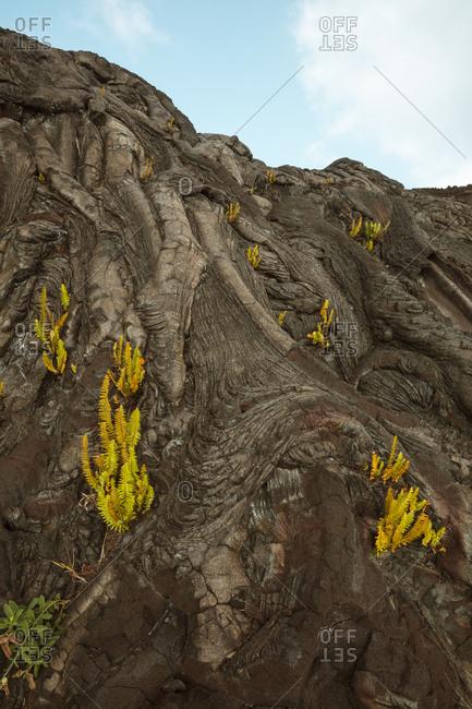 Plants growing on volcanic rocks