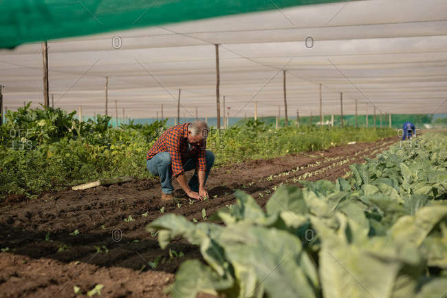 Side view of senior Caucasian male farmer planting the radish plant in the field on a sunny day