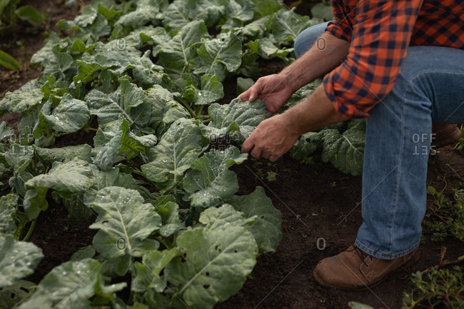 Mid-section view of senior Caucasian male farmer looking at cauliflower plant in greenhouse at farm