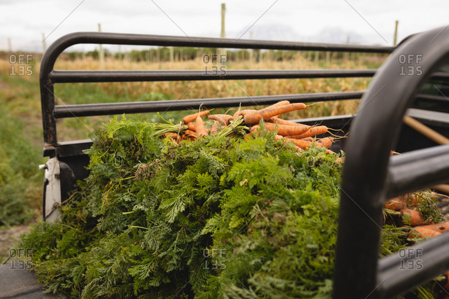 Side view of a fresh carrots loaded on truck vehicle on a sunny day