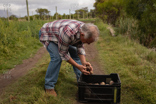 Side view of senior Caucasian male farmer putting harvested beetroot in basket in a field at farm